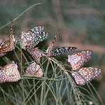 Blue Tiger Butterflies