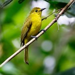 Friday Photo: Yellow Browed Bulbul