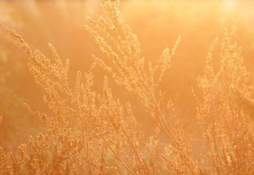 Grass in the morning light