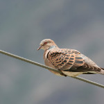 Friday Photo – Turtle Dove + 500 posts on India Travel Blog