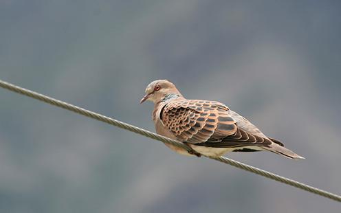 A Turtle Dove