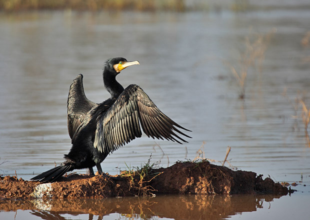 Cormorants | Unique Wild Life Pakistan