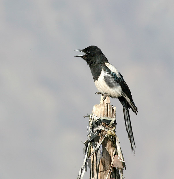 bactrian magpie
