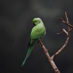 A Rose Ringed Parakeet