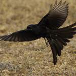 A Black Drongo Takes Off