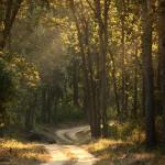 Kanha National Park – Sal Trees in Golden Light