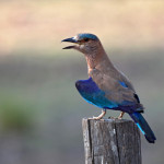 Image: Indian Roller