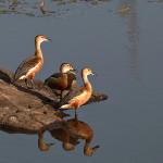 Image: Lesser Whistling Ducks