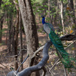 Images: Peacocks