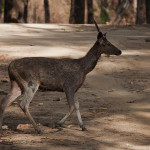 Images: Sambar Deer