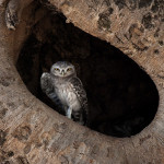 Image: Spotted Owlet