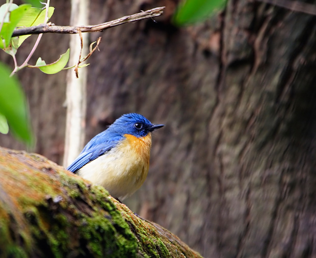 tickels blue flycatcher