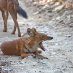 Images – Wild Dogs (Dhole) – Kanha National Park