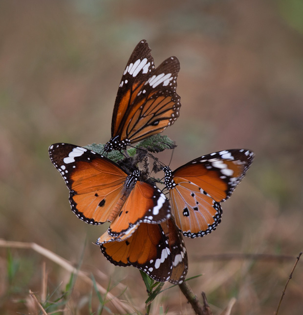 plain tiger butterfly