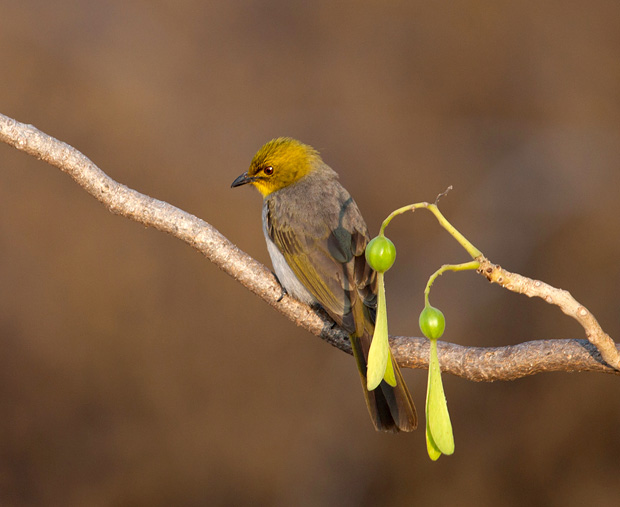yellow throated bulbul