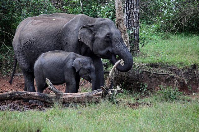 elephants of bandipur national park