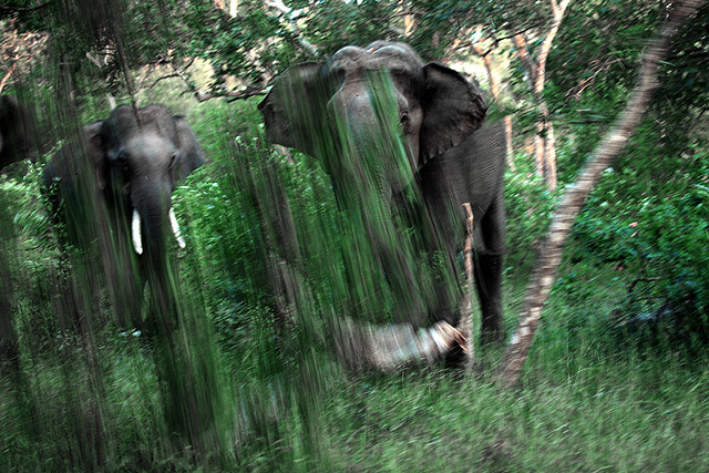 elephants in bandipur