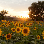 Sunflowers at Sun Set