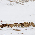 Pashmeena Goats in Changthang, Ladakh