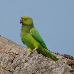 Keoladeo National Park, Bharatpur – Rose Ringed Parakeets