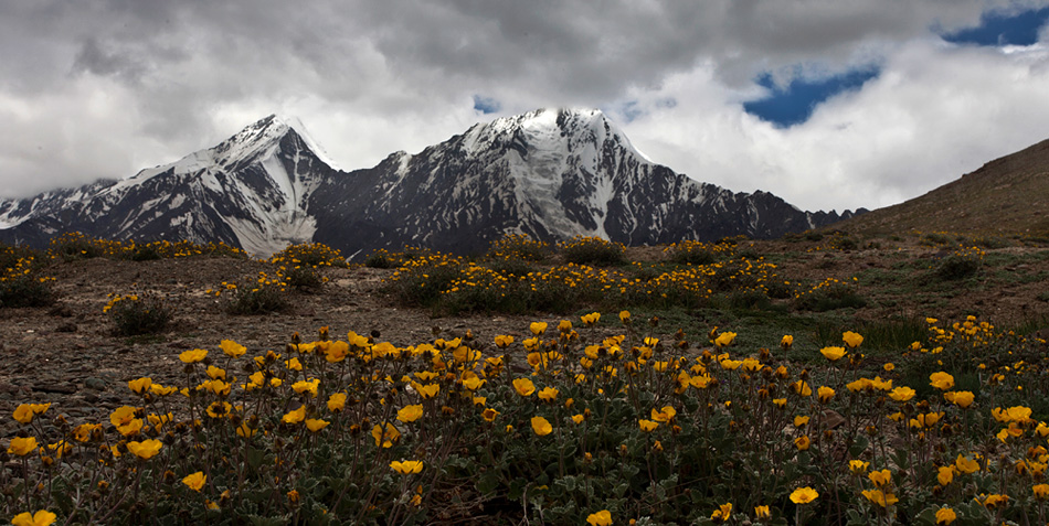 mountain flowers at Kunzum Pass