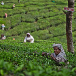 Picking Tea in the Estates of Munnar, Kerala