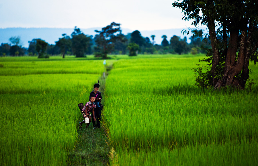 Cambodia - Paddy Fields
