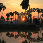 Rural Cambodia – Rice fields, sugar palms and a colourful sky.