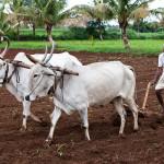 A Farmer Ploughs the Land