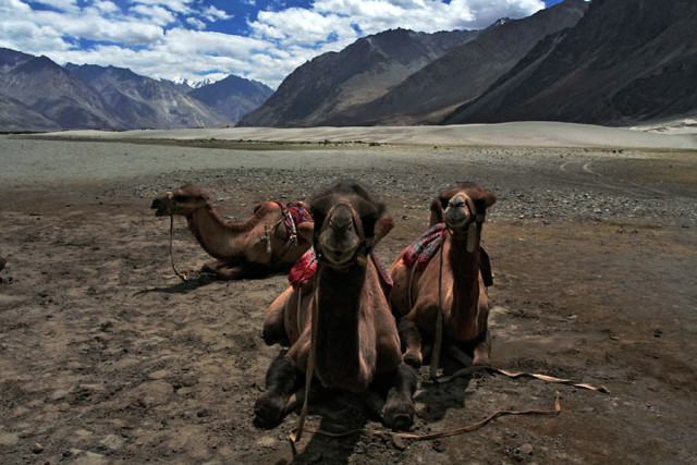 Bactrian Camel at Nubra Valley