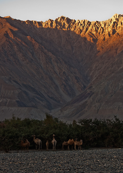 Bactrian camel of Nubra Valley